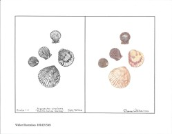 Shells in pen and ink and Prismacolor.