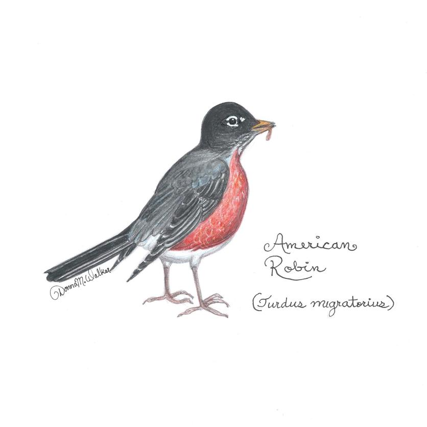 Classes on Drawing Backyard Birds coming soon! This is early bird was drawn in pencil then colored with Prismacolor and a touch of ink.